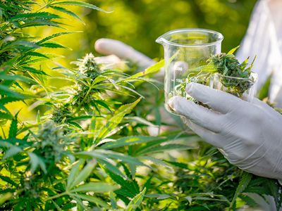 Researcher Taking a Few Cannabis Buds for Scientific Experiment