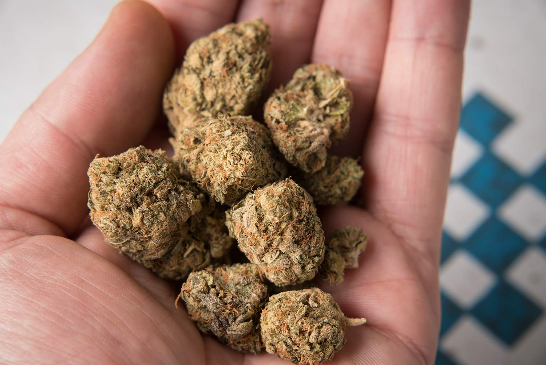 Close up of hand hold a pile of marijuana buds.