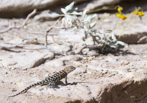 Lizard, Colorado River, Grand Canyon, Arizona, United States