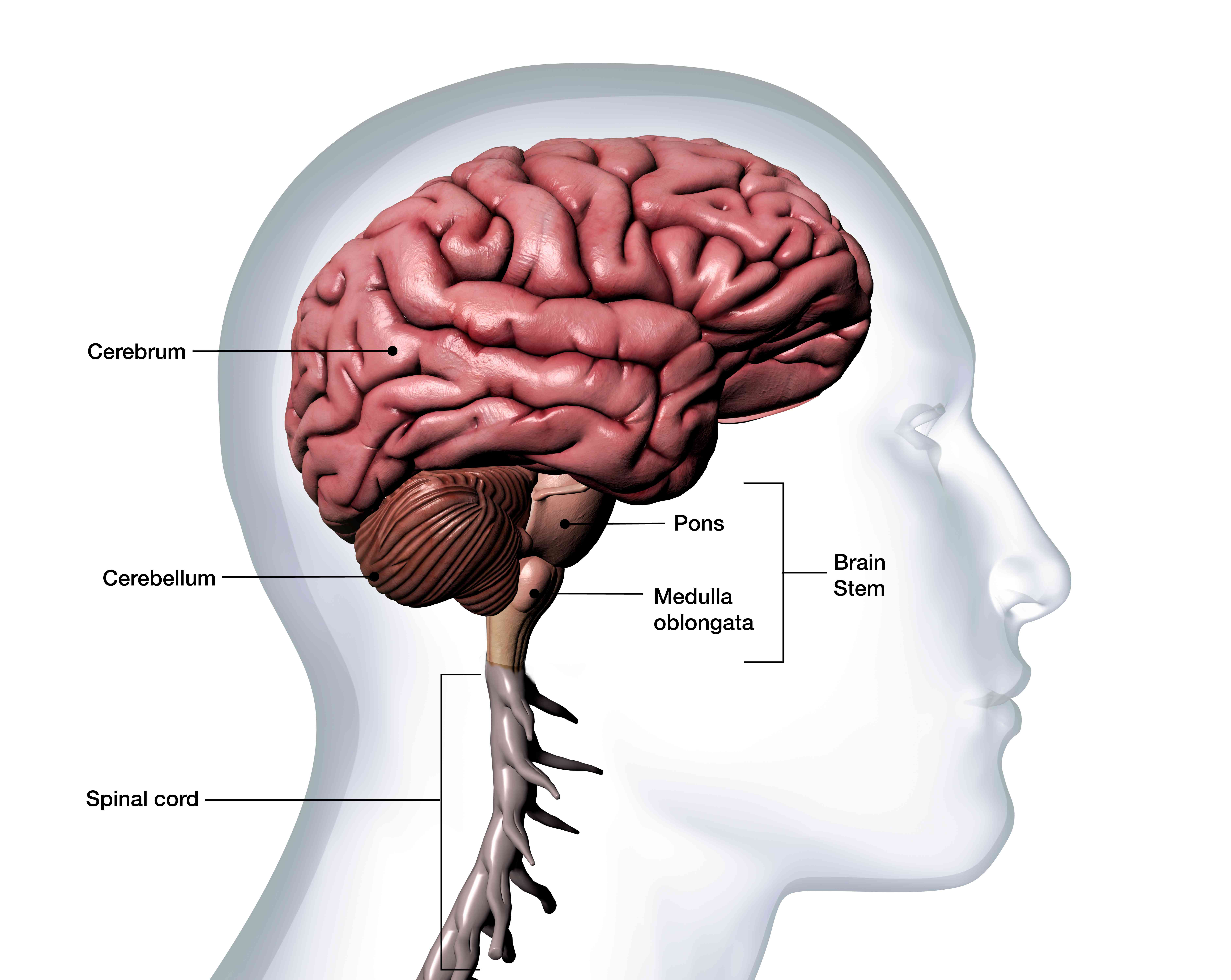 What Is the Cerebellum?