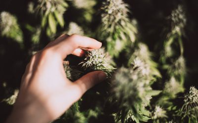 Female hand holds a cone of marijuana plant