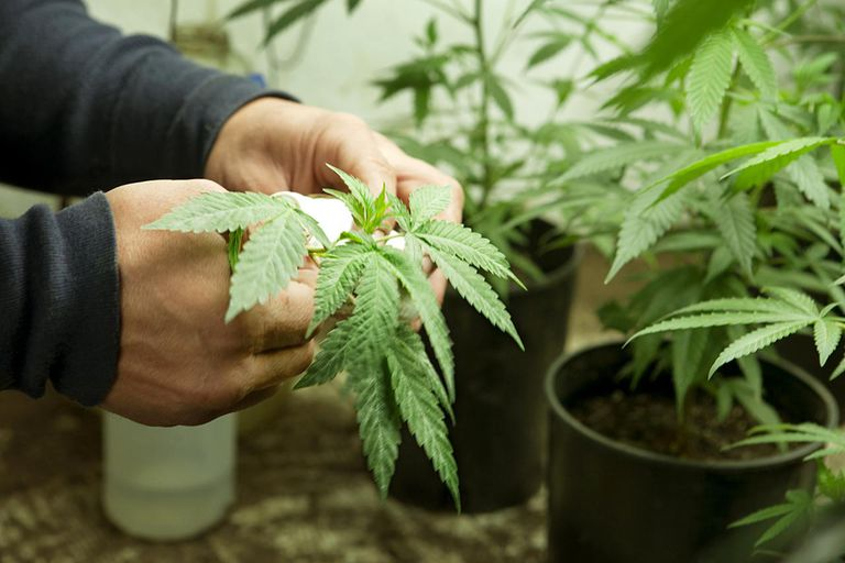 Medicinal Marijuana Supplier Caring for Plants
