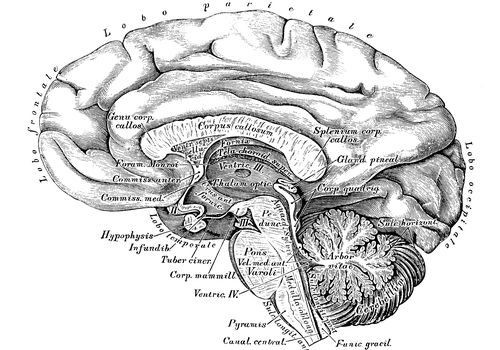 Human anatomy scientific illustrations: Brain side view