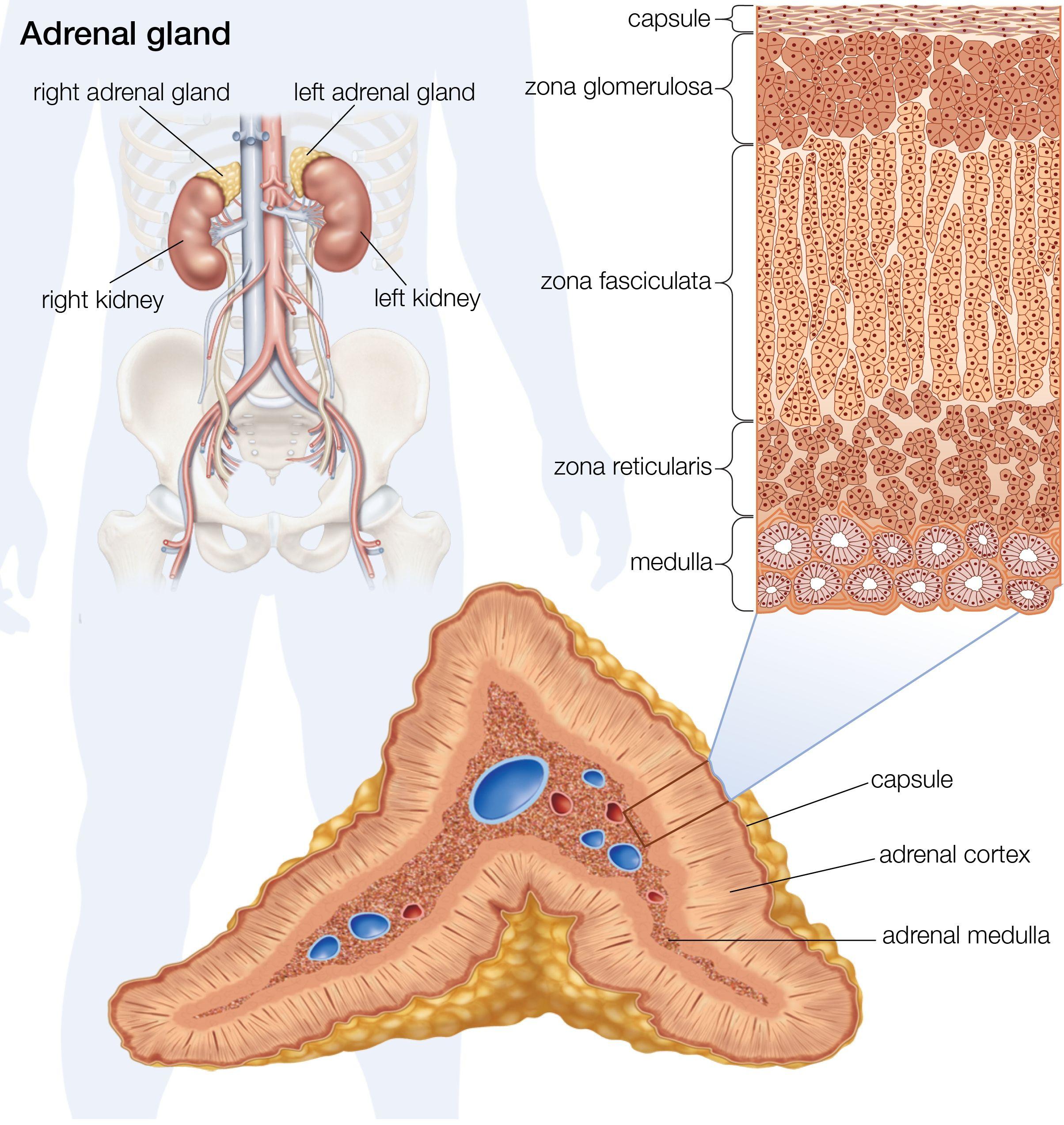 Adrenal Gland: Adrenal Glands And The Endocrine System
