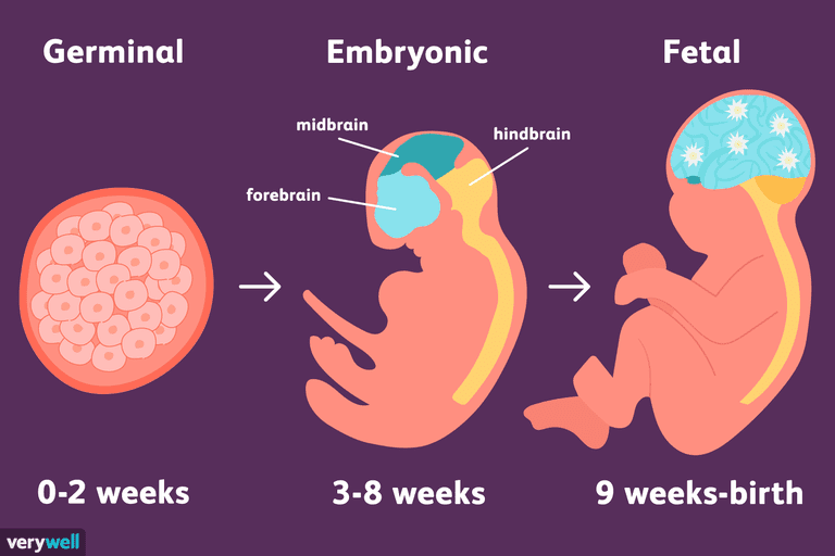 stages of prenatal development