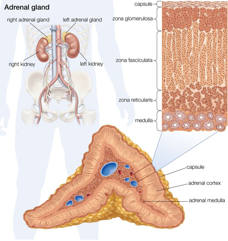 Adrenal Glands And The Endocrine System