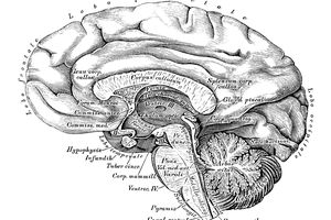 Human anatomy scientific illustrations: Brain side view