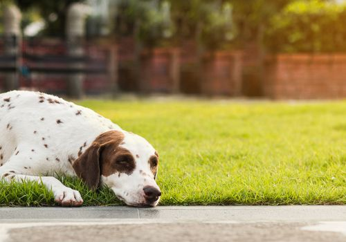 Dog laying outside in the grass