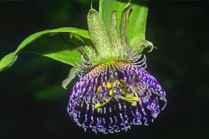 passion flower (passiflora incarnata)