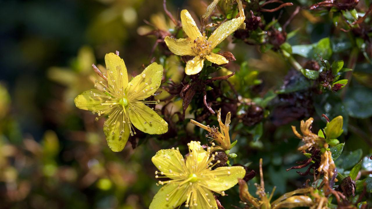 How Is St  John's Wort Used for Anxiety?