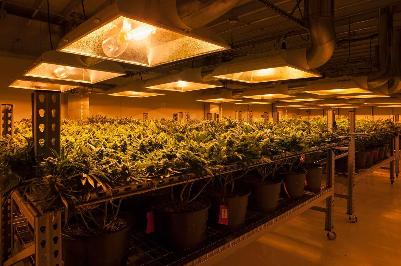 Cannabis plants growing under artificial light, in organic Marijuana farm.