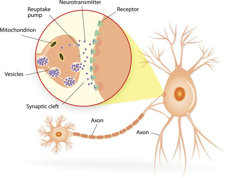 Illustration showing how neurotransmitters are released into the synaptic cleft and either bind with a receptor or are reabsorbed (reuptake) into the the neuron