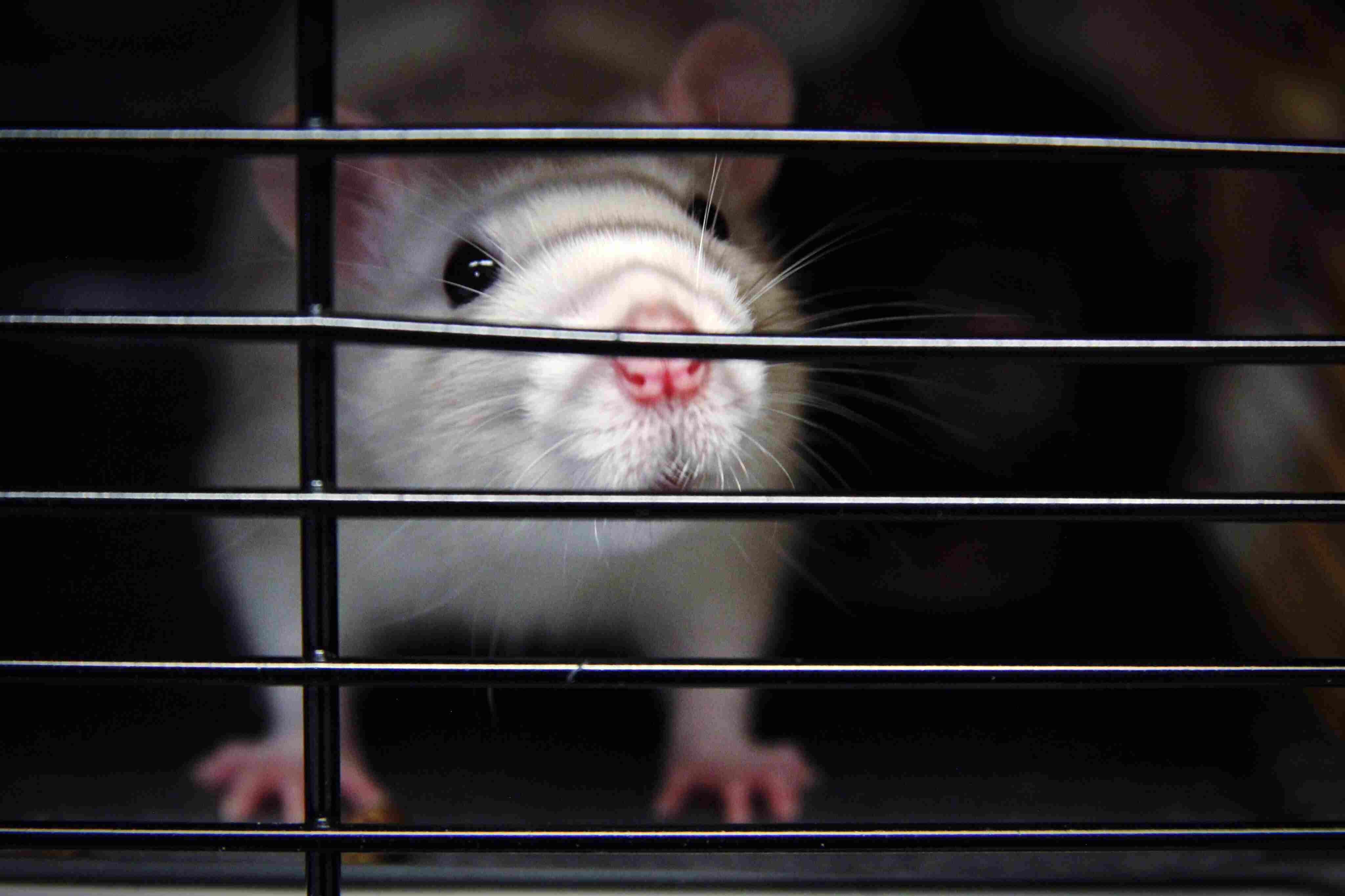 Close-Up Portrait Of Rat In Cage
