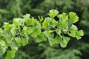 Ginkgo tree, Gingko tree or Maidenhair tree (Ginkgo biloba), North Rhine-Westphalia, Germany