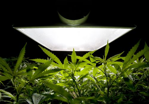 marijuana plants growing under light
