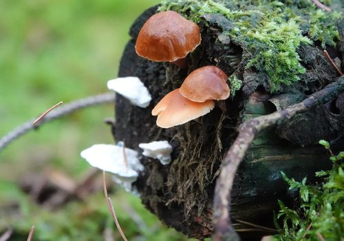 A photograph of mushrooms growing on dead wood.