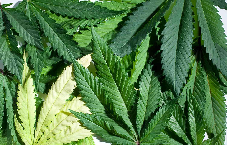 Various marijuana leaves