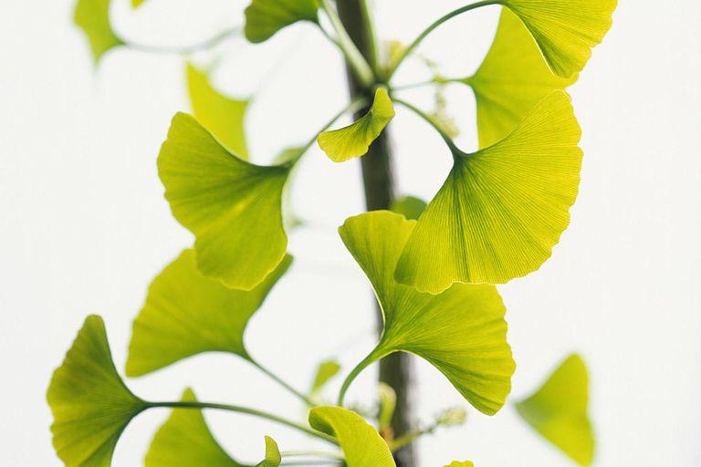 Ginko Branch