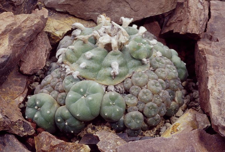 Peyote (Lophophora williamsii), Cactaceae.
