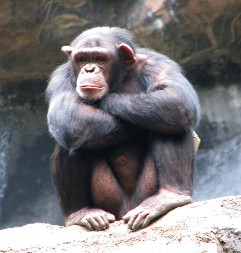 Chimp_Flickr_Rennett-Stowe.jpg