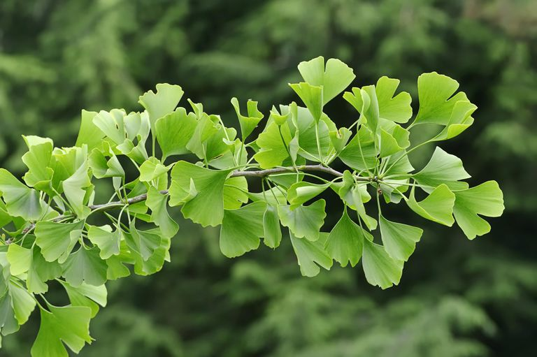 Ginkgo tree, Gingko tree or Maidenhair tree (Ginkgo biloba), North Rhine-Westphalia, Germany