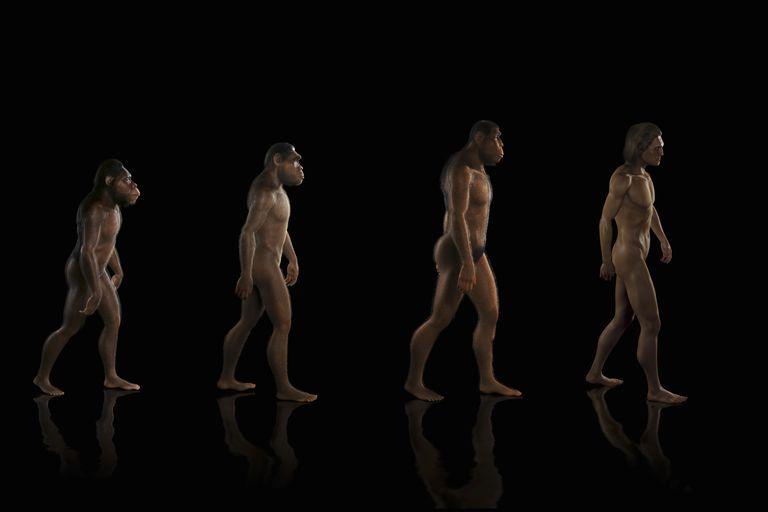 Illustration of human evolution, chimpanzee to human form