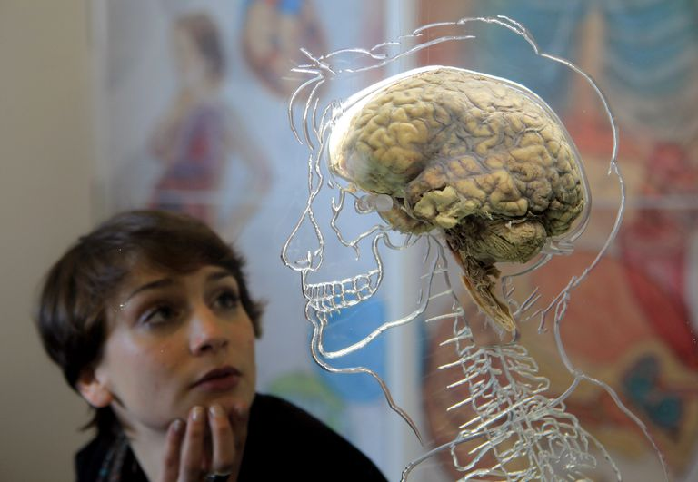27fa21d0636f6 Just How Big Is the Human Brain in Size