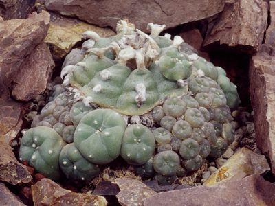 Peyote (Lophophora williamsii), Cactaceae.