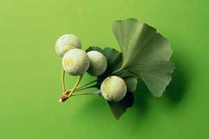 ginko seeds and leaves