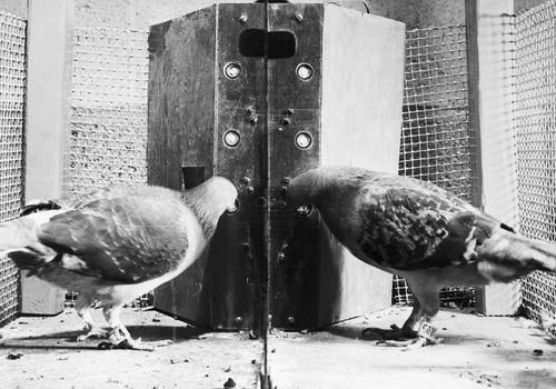 Pigeons in a Skinner box