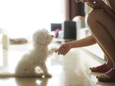 Small white dog shaking hands with a little girl
