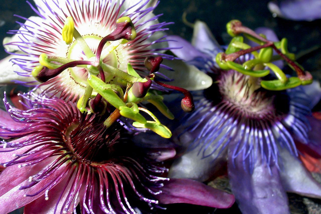 Passiflora Caerulea Wikipedia
