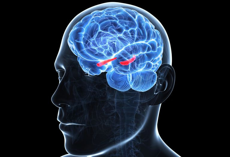 A Brain System That Appears To >> Hippocampus Role In The Limbic System