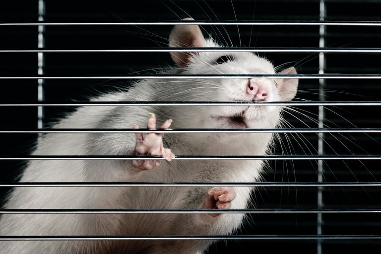 An image of a white rat