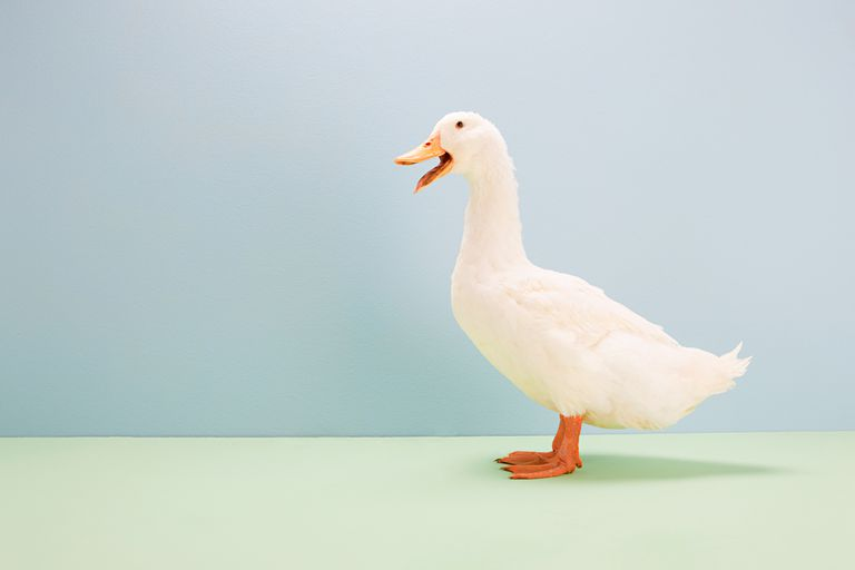 A picture of a duck