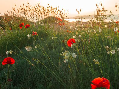poppies in the sun